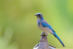 Western Scrub Jay Royalty Free Stock Images