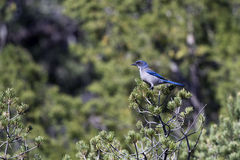 Western Scrub Jay, Aphelocoma californica Royalty Free Stock Photos