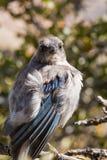 Western Scrub Jay (Aphelocoma californica) Royalty Free Stock Image
