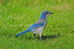 Western Scrub-Jay (Aphelocoma Californica) Royalty Free Stock Image