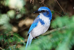 Western Scrub Jay - Aphelocoma californica Royalty Free Stock Photo