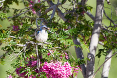 Western Scrub Jay, Aphelocoma californica Stock Image