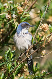 Western Scrub Jay, Aphelocoma californica Royalty Free Stock Photo