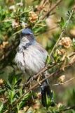 Western Scrub Jay, Aphelocoma californica Royalty Free Stock Photography