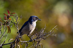 Western Scrub Jay, Aphelocoma californica. Western Scrub Jay in Leo Carrillo State Park on the California coast near Malibu Royalty Free Stock Images