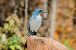 Western Scrub-jay Stock Photography