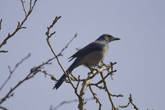 Western Scrub-Jay (Aphelocoma californica) Stock Photo