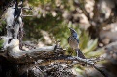 Western Scrub Jay, Grand Canyon stock photo