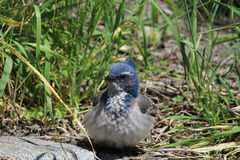 Western Scrub Jay. Hiding in the grass Royalty Free Stock Photo