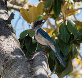 Western Scrub-Jay Stock Photos