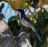 Western Scrub-Jay Stock Photo