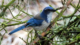 Western Scrub Jay. Perched on a Tree Branch stock image