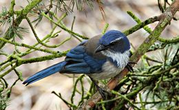 Western Scrub Jay. Perched on a Tree Branch royalty free stock photography