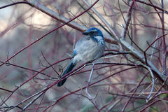 Western Scrub Jay Resting on Tree Branch Royalty Free Stock Photo