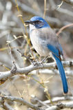 Western Scrub Jay Stock Images