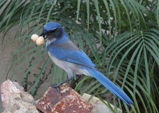 Western Scrub Jay Royalty Free Stock Photo