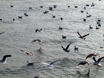Western Sea Gull flying while others rest in water Stock Images