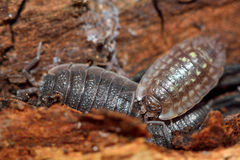 Western shiny woodlouse (Oniscus asellus) and rough woodlouse (Porcellio scaber) Stock Images