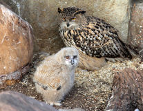 Western Siberian eagle owl Bubo bubo sibiricus with a chick. In zoo royalty free stock image
