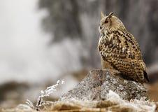 Western siberian eagle owl Bubo bubo sibiricus Stock Photography