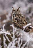 Western siberian eagle owl Bubo bubo sibiricus Royalty Free Stock Photo
