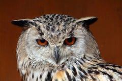 Western Siberian eagle-owl (Bubo bubo sibiricus). Wild life animal Stock Images
