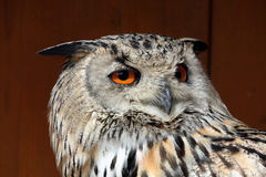 Western Siberian eagle-owl (Bubo bubo sibiricus). Royalty Free Stock Photography