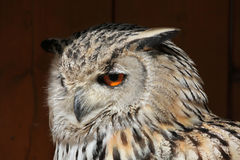 Western Siberian eagle-owl (Bubo bubo sibiricus). Wild life animal Stock Photo