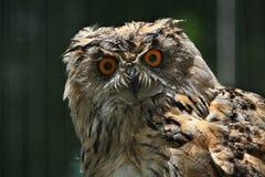 Western Siberian eagle owl (Bubo bubo sibiricus). Stock Image