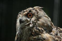 Western Siberian eagle owl (Bubo bubo sibiricus). Wildlife animal Royalty Free Stock Image