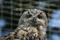 Western Siberian eagle owl (Bubo bubo sibiricus). Wildlife animal Stock Image