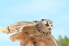 Western siberian eagle-owl royalty free stock images