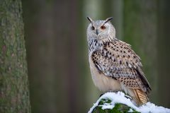 Western siberian eagle owl sitting on snowy rock. In the forest. Smooth bookeh background royalty free stock images