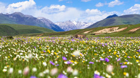 Western Sichuan Hongyuan Russian wood pasture pond flowers Stock Images