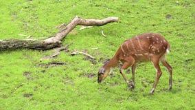 Western Sitatunga eating grass. Western Sitatunga (Tragelaphus spekii gratus). Activity of young Sitatunga female antelope eating grass. Pasture of wild animal stock video