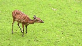 Western Sitatunga eating grass. Western Sitatunga (Tragelaphus spekii gratus). Activity of young Sitatunga female antelope eating grass. Pasture of wild animal stock footage