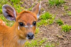 Western sitatunga marshbuck with orange fur white stripes Royalty Free Stock Photos