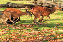 Western sitatunga. The running couple of western sitatungas Stock Images