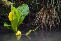 Western Skunk Cabbage Stock Photos
