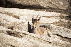Western Spanish ibex (Capra pyrenaica victoriae) Royalty Free Stock Photos