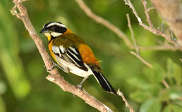 Western Spindalis, Spindalis zena, Cuba Royalty Free Stock Photo