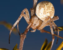 Western Spotted Orb Weaver Spider Stock Photos