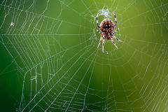 Western Spotted Orb Weaver Spider - Neoscona oaxacensis Royalty Free Stock Image