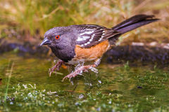 Western Spotted Towhee Royalty Free Stock Photography