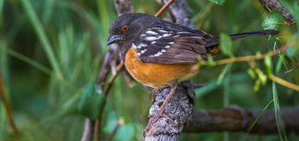 Western Spotted Towhee Royalty Free Stock Photos