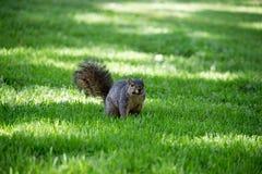 Western  Squirrel Royalty Free Stock Photos