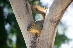 Western  Squirrel Stock Photos