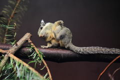Western striped squirrel Royalty Free Stock Image