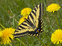 Western Swallowtail Butterfly. Papilio rutulus is found along the Rocky Mountain Range. It has wider stripes and is smaller than the Two-tailed Swallowtail royalty free stock photos
