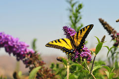 Western Tiger Swallowtail Papilio rutulus Butterfly on Butterfly Bush. Western Swallowtail papilio rutulus butterfly on butterfly bush Royalty Free Stock Image